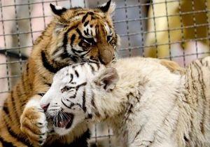 Директор Ялтинского зоопарка готов назвать Витей будущего жениха Тигрюли