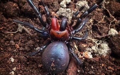 Ученые впервые поймали  паука-вампира