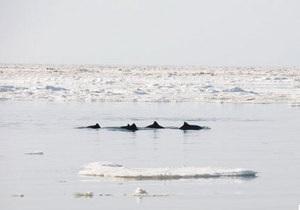 Дельфины, застрявшие во льду у берегов Крыма, уплыли в море