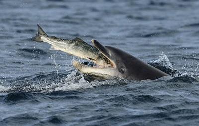 Фотограф запечатлел поведение дельфинов во время миграции
