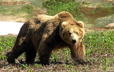 В России медведь напал на пенсионерку