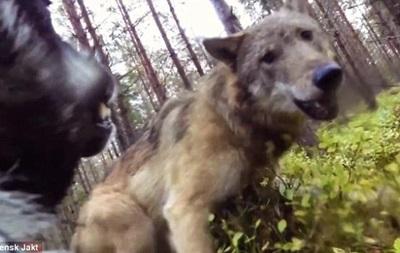 Камера сняла нападение волков на собаку