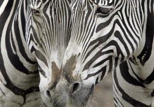 В Киевском зоопарке зебра погибла в результате несчастного случая