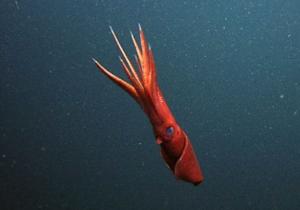 Глубоководные кальмары пытаются отвлечь внимание противника ампутированными конечностями