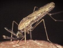 Личинки малярийных комаров атаковали московские пруды