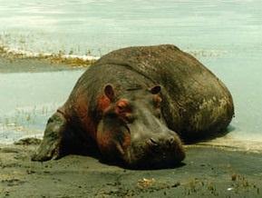В израильском зоопарке бегемот умер во время кастрации