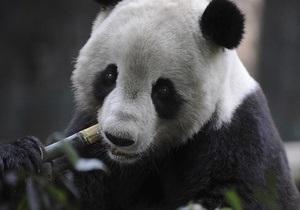 В пекинском зоопарке гигантская панда задавила своего детеныша