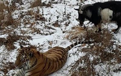 Козел Тимур поправился за время дружбы с тигром Амуром