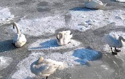 На речке в Житомирской области стая лебедей примерзла ко льду