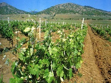В Крыму закладывают новые сады и виноградники