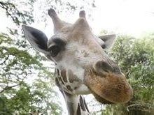 Жираф организовал массовый побег животных из цирка
