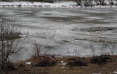 В Винницкой области на пруду под лед провалилось стадо зубров