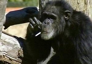 В ЮАР скончался курящий шимпанзе