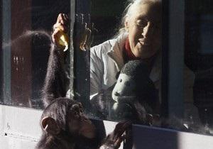 Ученые: В отличие от человеческого, мозг шимпанзе в старости не  съеживается