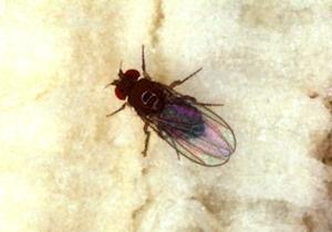 Ученые обнаружили у мух автопилот