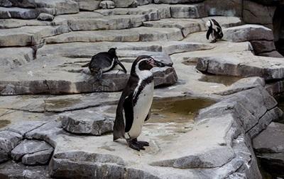 Товсті пінгвіни міцніше стоять на ногах - учені