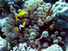 Ученые узнали, как рыбы-клоуны находят путь домой