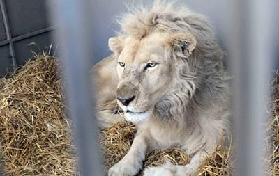 У Запоріжжі з цирку втік лев - ЗМІ