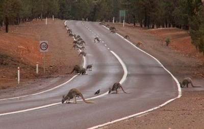 Австралийские велосипедисты пострадали из-за аварии с кенгуру
