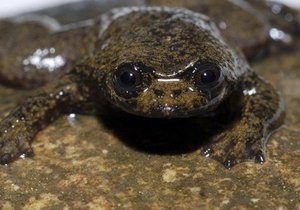 На Борнео обнаружили слизняка-купидона и лягушку без легких