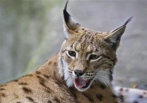 В Киевский зоопарк из Чехии привезли самца карпатской рыси