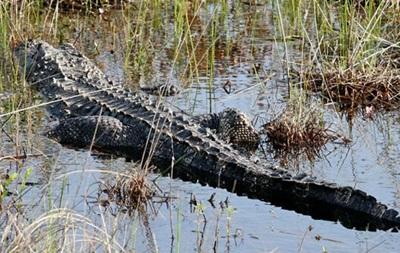 У Флориді усипили алігатора, який напав на дитину в парку Disney