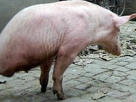 В Китае двуногая свинья научилась ходить