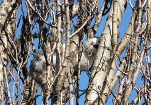 Киевляне просят спасателей помочь коту, четвертый день сидящему на дереве