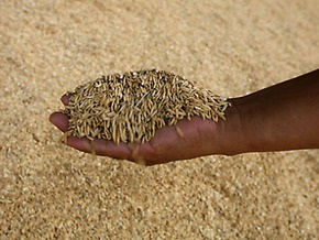 Аргентина прекратит экспорт пшеницы из-за засухи