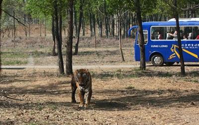 В сафари-парке под Пекином тигры загрызли туристку