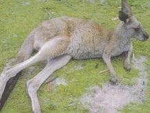 В Австралии разыскивают школьника, который избил кенгуру