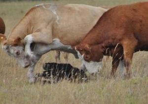 В Винницкой области зафиксирован случай бешенства у коровы