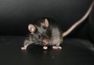 Американец, спасший мышь от кошки, госпитализирован с симптомами чумы