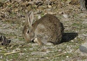 Немецкие ученые установили, что крольчихи могут быть беременными постоянно