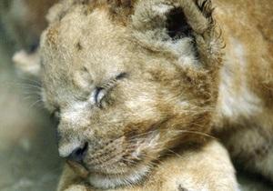 В Крыму у фотографа изъяли месячного львенка