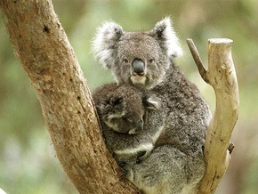 Ученые: Австралийские коалы могут исчезнуть через тридцать лет
