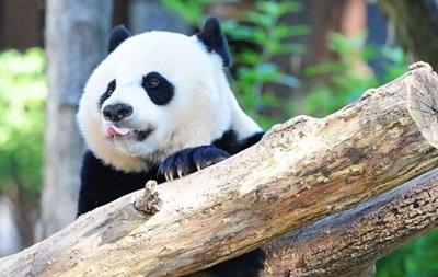 Вашингтонский детеныш панды Бэй-Бэй перенес операцию