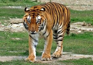Тигры оказались более древними и дальними родственниками больших кошек