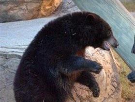 На Камчатке против водителя, который сбил медведя, возбудили административное дело