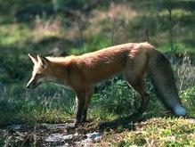 Житель Винницкой области умер от укуса бешеной лисицы
