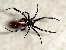 Черные вдовы на голодный желудок плетут более опасные сети