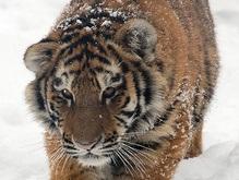 На территории военной части в Киеве обнаружены уссурийские тигры
