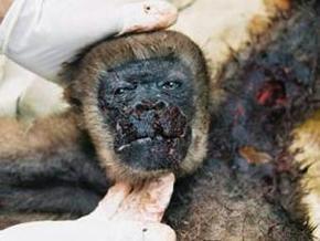 Самые миролюбивые обезьяны оказались способны на убийство из-за секса