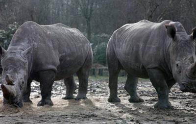 В бельгийском зоопарке решили обрезать рога носорогам