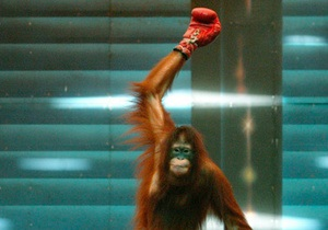 Фотогалерея: Спорт в мире животных. Слоны-футболисты, собаки-серферы и орангутанг в нокауте