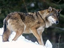 В Харьковской области волчица покусала шестерых человек