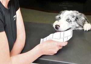 Новости Великобритании - новости о животных: В Великобритании компания наняла колли в качестве офисного работника