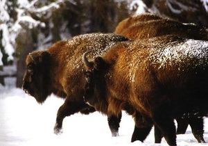 На Буковине браконьеры застрелили занесенного в Красную книгу 500-килограммового зубра