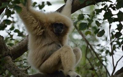 В США засняли побег обезьяны из зоопарка
