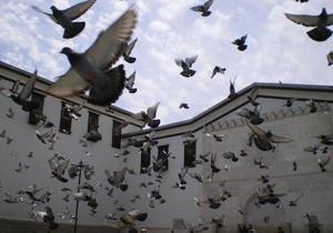 Власти Брюсселя одобрили план эвтаназии городских голубей